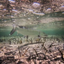 Bonefish swimming the Flats of North Caicos